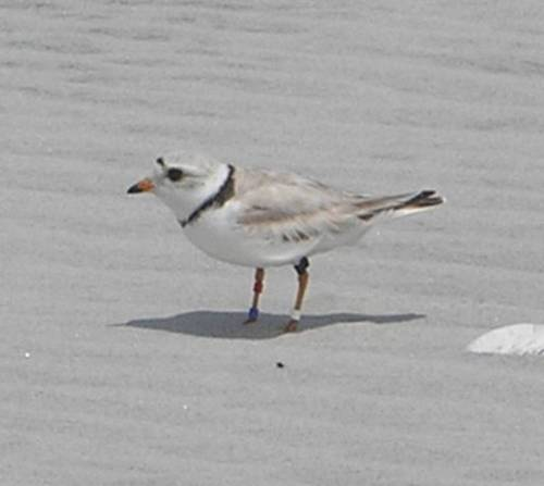 This beautiful gal in known as Bahama Mama (we're a creative group, what can I say!). She was banded in the Bahamas in 2010 and has been seen in the same wintering and breeding spots every year since. We last saw her at North Brigantine in September, so as long as she made it through migration, we should be able to see her by Wednesday afternoon on Grand Bahama. Yahoo!!